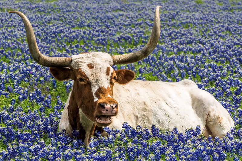 Longhorn in the bluebonnets (horses and llamas, too), north of Leander, Texas, Thursday, April 9, 2015. Specific location: east side of Ronald Reagan Blvd (heading north), between Hwy 29 and 2243. The longhorn patch is just north of the South Fork of the San Gabriel River. Rumor is the property has been sold and will likely be developed into a subdivision by next year (2016). Bummer for the bluebonnet enthusiasts. The cattle were awesome, almost posed for the photos. A field with llamas is across the highway, on the western/souther traffic side.
