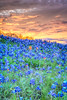 Bluebonnet sunrise with Kristina H., on an access road along Hwy 190 near Nolanville, Texas, Saturday, April 4, 2015.
