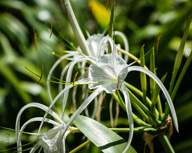 Amaryllidaceae-Spider Lily-1925