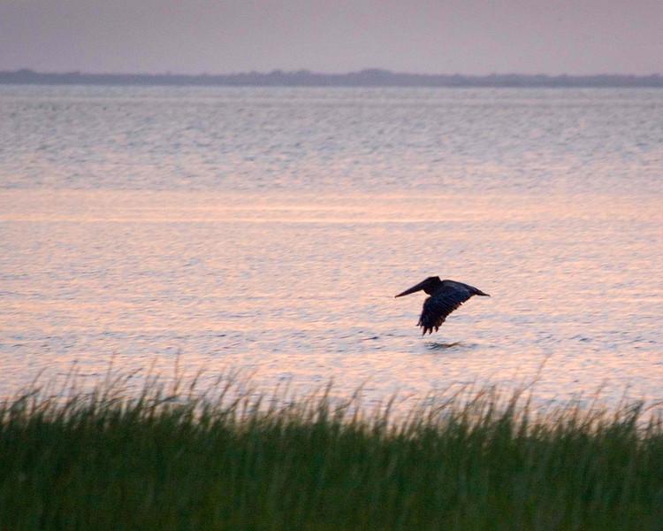 Brown Pelican gliding