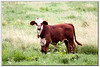 (watercolor)  <br /> Reminds me of Tanya, she loves calves - reminds her of her grandparents farm