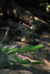 Gambia's sacred crocodile pool