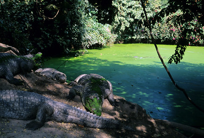 Gambia's sacred crocodile pool