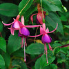 Fuchsia in the gardens on Mainau Island.<br /> <br /> picture taken July 13, 2009