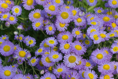 Beautiful Fleabane, Erigeron formosissimus