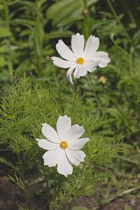 Cosmos bipinnatus, 'Sonata White'