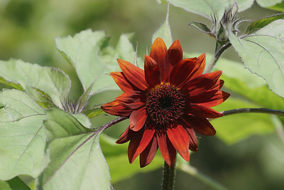 Red Sunflower, Helianthus annuus 'pastiche'
