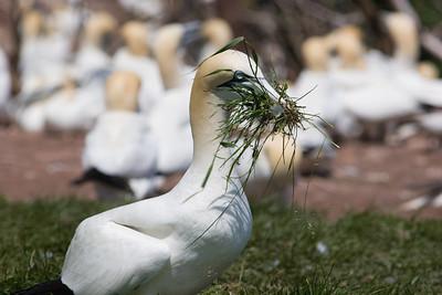 Gannet Nesting Instincts