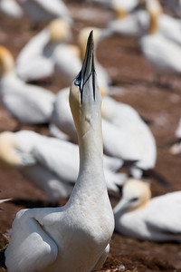 Gannet - Neck Up