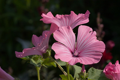 Rose Mallow, Lavatera trimestris