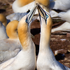 Northern Gannets in Love!
