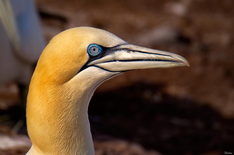 A Northern Gannet