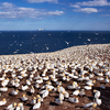 Northern Gannet Colony<br /> I took this shot at the Bonaventure Island, 5 kilometres (3.1 mi) southeast of the village of Percé, Quebec, Canada. It is one of the largest and most accessible bird sanctuaries in the world.