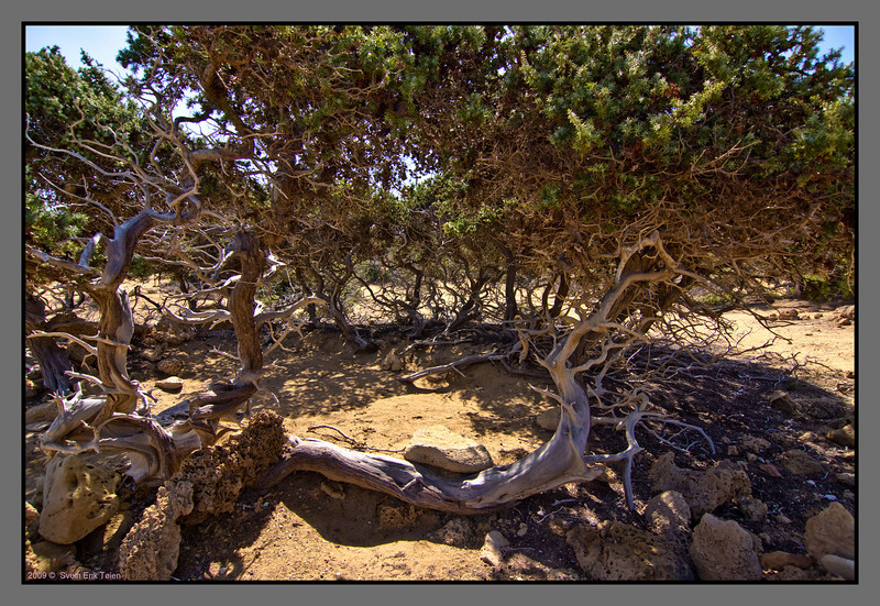 Old Cedar tree (I think) giving shadow