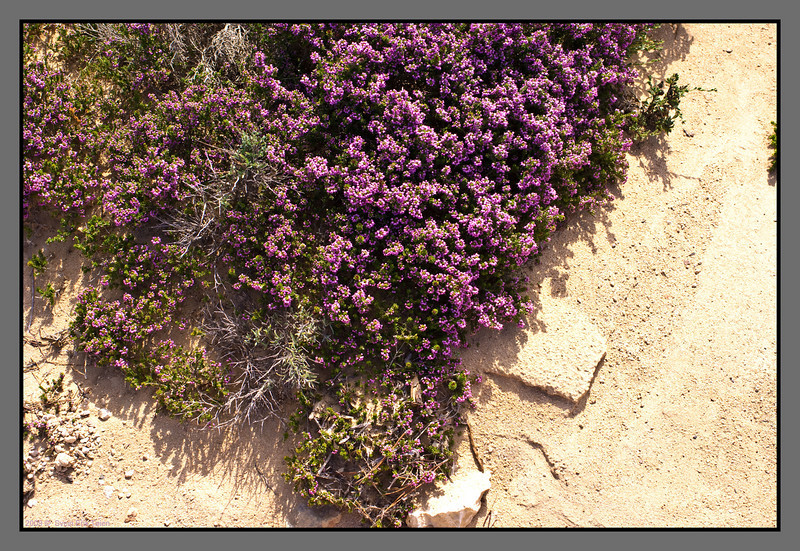 Blooming heather on the dry soil
