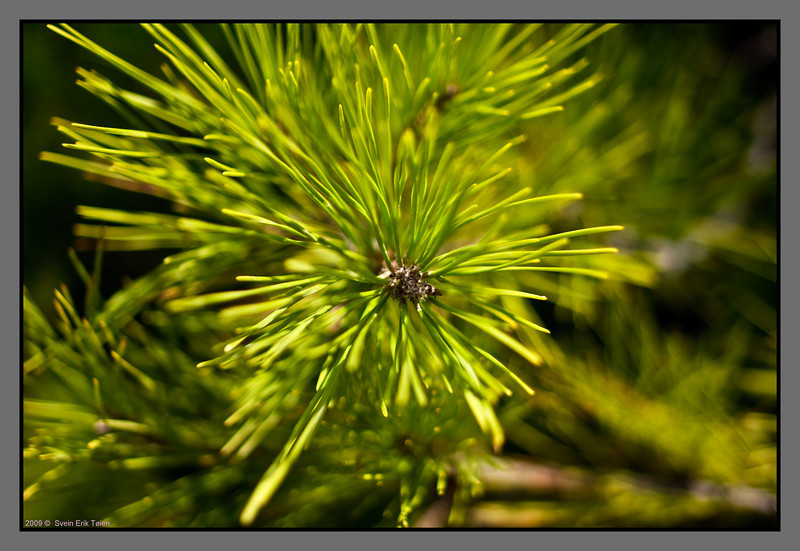 Pine trees with long, soft needles cover a lot of the terrain