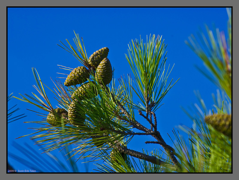 The soft-needeled pine