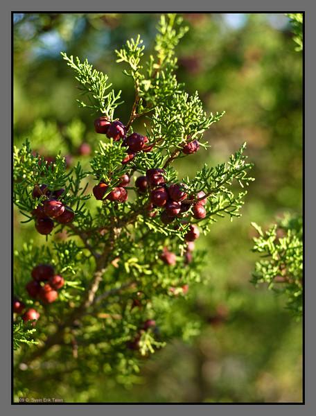 Juniper-like bushes ripe with berries