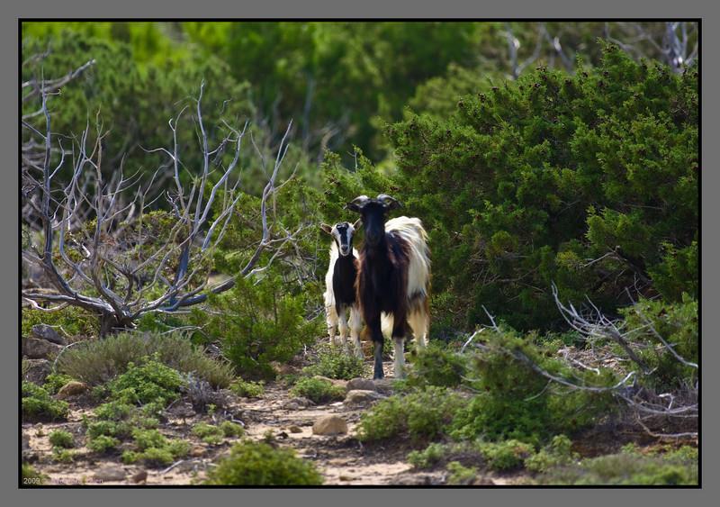 Local goats - curious, but a bit shy