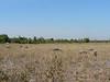 Fields with water buffalos near Banteay Srei.