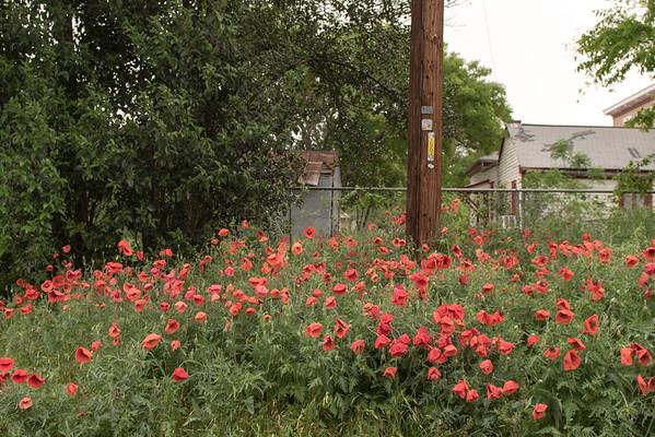 Georgetown Texas Poppy Festival April 2015