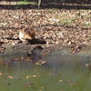 VIDEO: Beavers (One Cleaning and One Sleeping) - Memorial Park - Bear Hollow Trail - Athens, GA  2/9/13