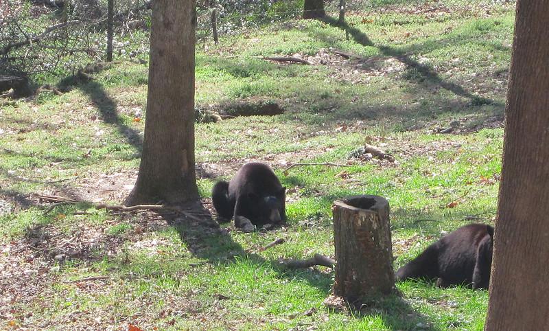 Black Bears - Memorial Park - Bear Hollow Trail - Athens, GA  2/9/13
