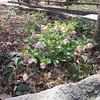 Hellebores in Bloom - Memorial Park - Bear Hollow Trail - Athens, GA  2/9/13