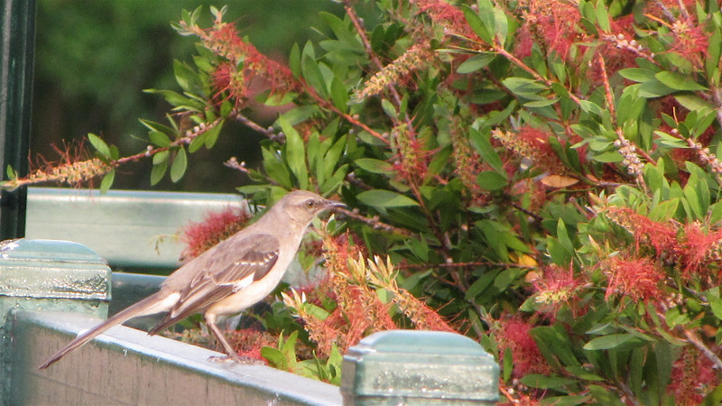 Mockingbird on Riverwalk - Augusta, GA - May 14, 2010