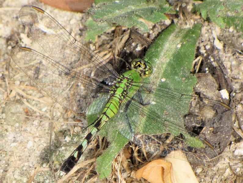 Eastern Pondhawk Dragonfly, Female  - Phinizy Swamp Nature Park - Augusta, GA