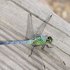 Eastern Pondhawk Dragonfly on Boardwalk (Erythemis simplicollis?) - Phinizy Swamp Nature Park - Augusta, GA
