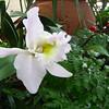 White Orchid - State Botanical Garden of Georgia - Athens, GA  2/10/13