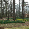 Daffodils Everywhere - State Botanical Garden of Georgia - Athens, GA  2/10/13