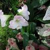 Soft Pink Amaryllis - State Botanical Garden of Georgia - Athens, GA  2/10/13