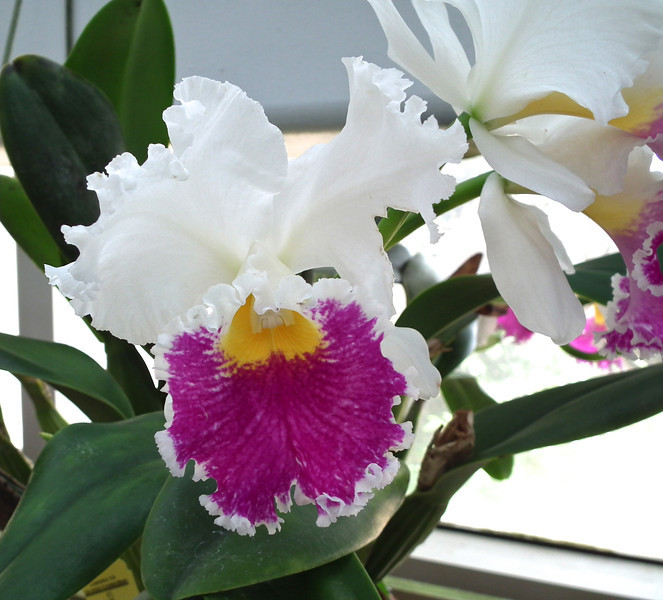 Tri-Color Orchid - State Botanical Garden of Georgia - Athens, GA  2/10/13