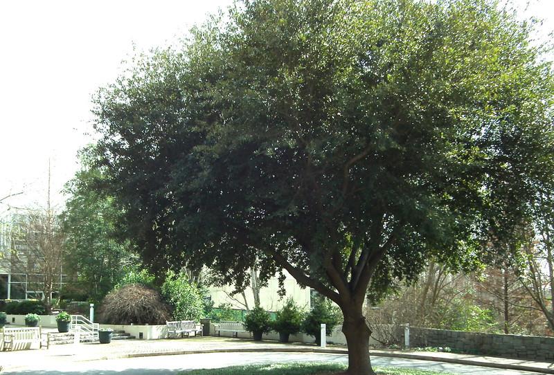 Gorgeous Tree at Visitor Center's Entrance - State Botanical Garden of Georgia - Athens, GA  2/10/13