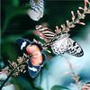 Variety of Butterflies - Callaway Gardens - Pine Mountian, GA  12-8-01