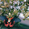 Amazing Butterfly - Butterfly House - Callaway Gardens, Pine Mountain, GA  12-25-96