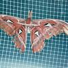 Silk Moth - Callaway Gardens - Pine Mountian, GA  12-8-01