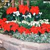 Poinsettas - Callaway Gardens, Pine Mountain, GA  12-25-96