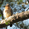 Red-shouldered Hawk Above the Habitat for The Non-releasable Red-shouldered Hawks - Chattahoochee Nature Center, Roswell, GA