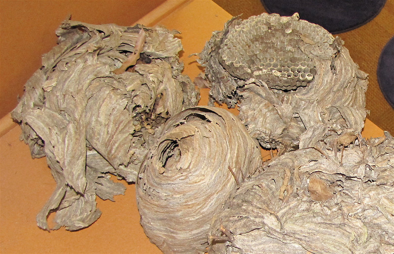 Closer Look at Hornet Nests - Chattahoochee Nature Center, Roswell, GA