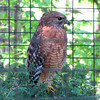 Non-releasable Red-shouldered Hawk - Chattahoochee Nature Center, Roswell, GA
