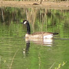 Canada Goose - Views from Waterside Bench - Chattahoochee Nature Center, Roswell, GA