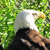Non-releasable Young Male Bald Eagle - Chattahoochee Nature Center, Roswell, GA