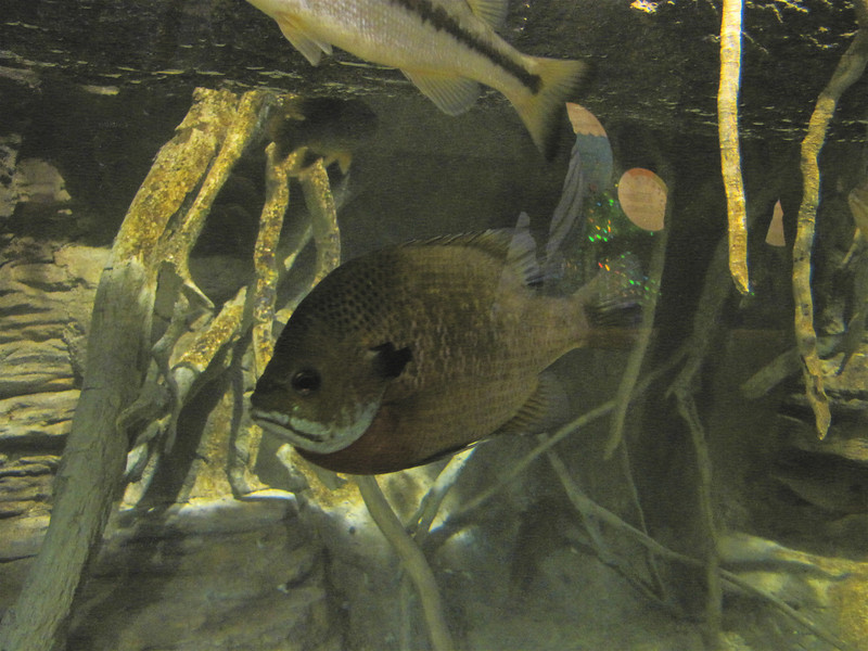Fish in Tank - Chattahoochee Nature Center, Roswell, GA