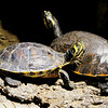 Closer Look at Turtles - Chattahoochee Nature Center, Roswell, GA