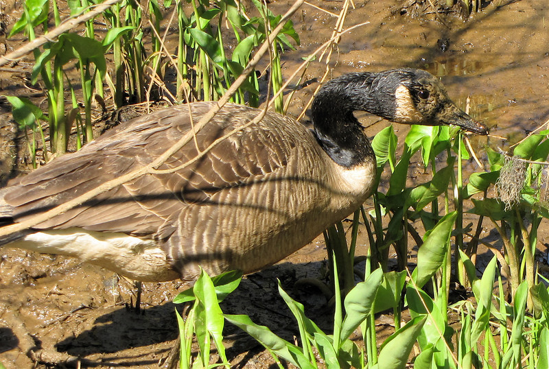 Muddy-faced Canada Goose - Chattahoochee Nature Center, Roswell, GA