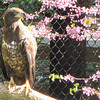 Non-releasable Juvenile Bald Eagle - Chattahoochee Nature Center, Roswell, GA