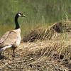 Canada Goose - Chattahoochee Nature Center, Roswell, GA